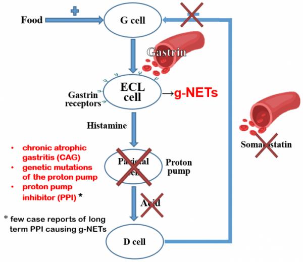 Gastrin mechanism in hypergastrinaemia